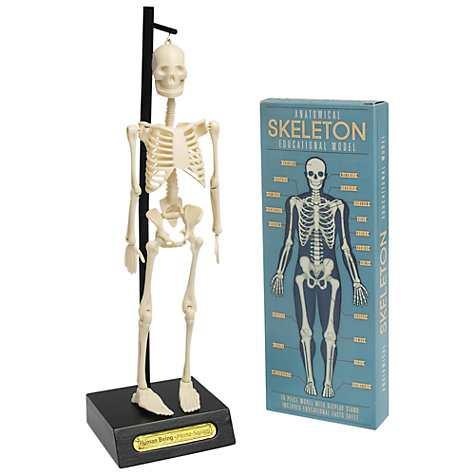 Rex Anatomical Skeleton Model